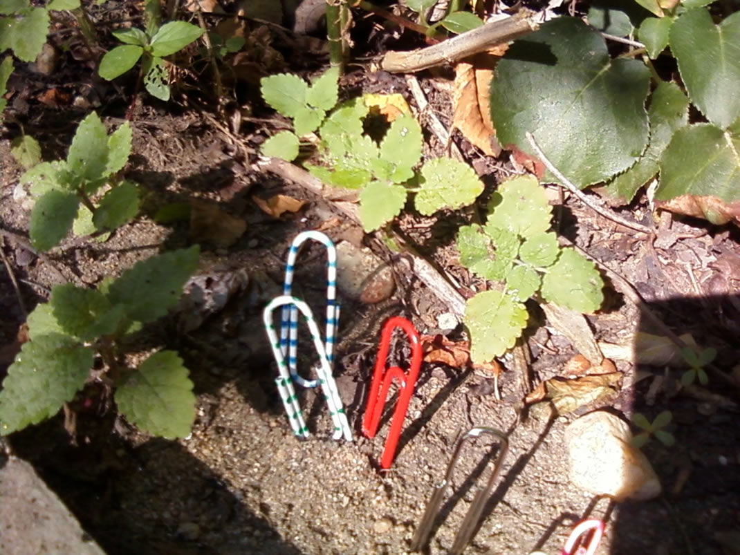 Wild paperclips living free in nature as intended.